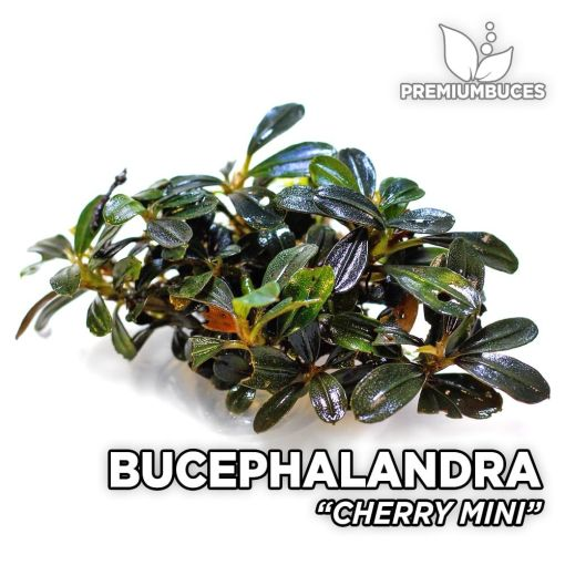 Bucephalandra Cherry Mini-Aquarienpflanze