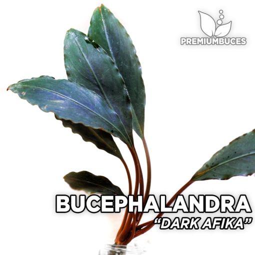 Bucephalandra Dark Afika planta de acuario