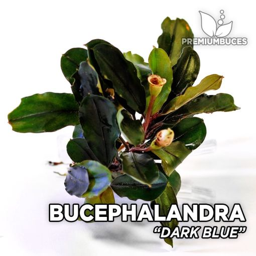 Bucephalandra Dark Blue Aquarienpflanze