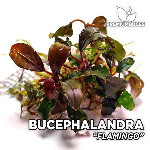 Bucephalandra Flamingo planta de acuario
