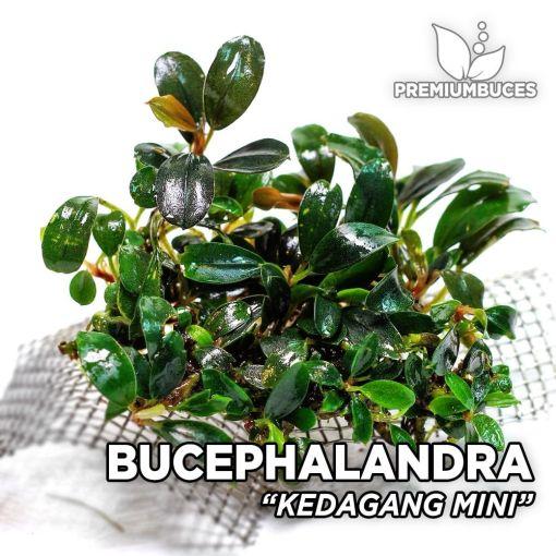 Bucephalandra Kedagang Mini planta de acuario