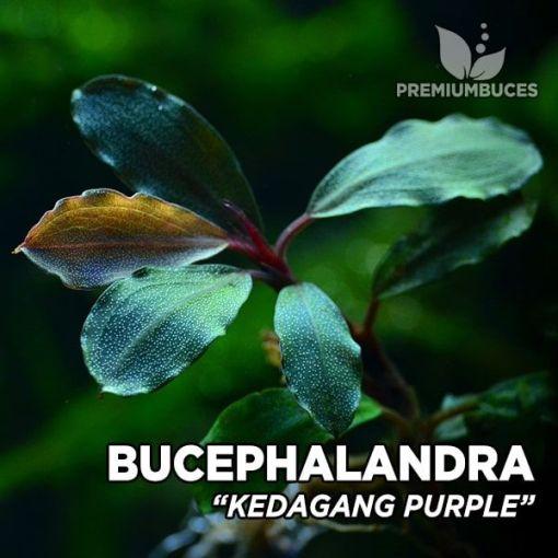 Bucephalandra Kedagang Purple planta de acuario