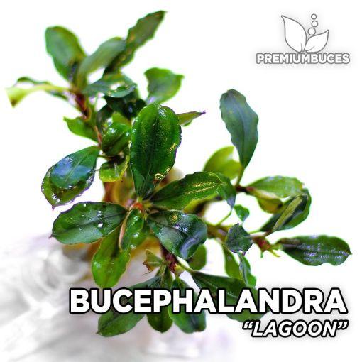 Bucephalandra Lagoon planta de acuario