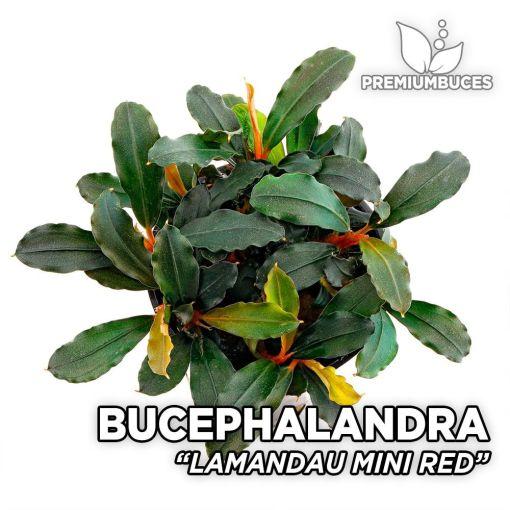 Bucephalandra Lamandau Mini Red planta de acuario
