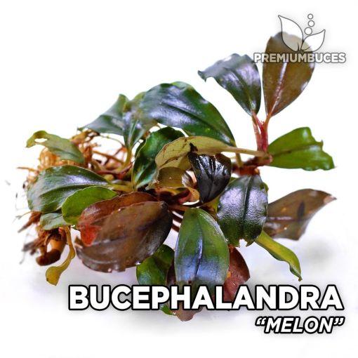 Bucephalandra Melon planta de acuario