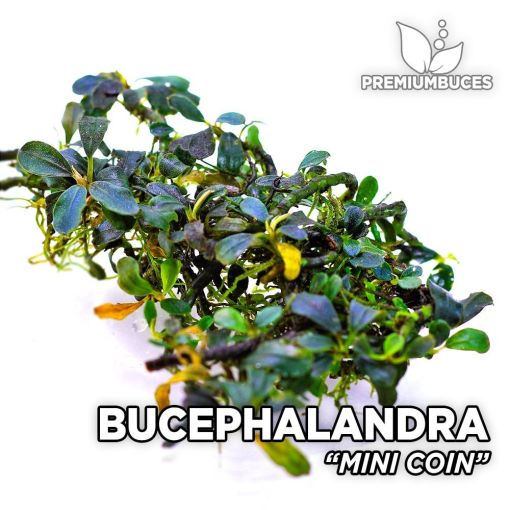 Bucephalandra Mini Coin Aquarienpflanze