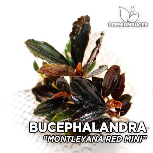 Bucephalandra Montleyana Red Mini planta de acuario