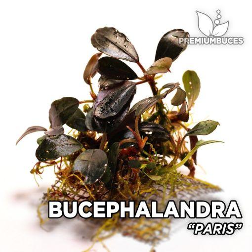 Bucephalandra Paris planta de acuario