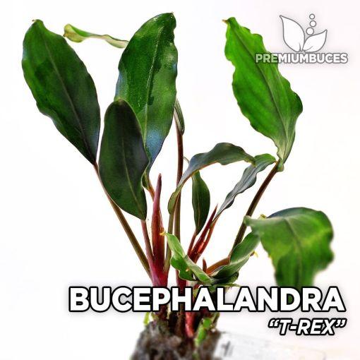 Bucephalandra T-Rex planta de acuario