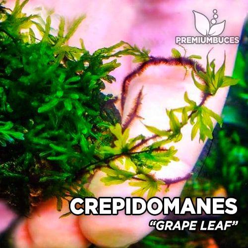 Crepidomanes Grape Leaf