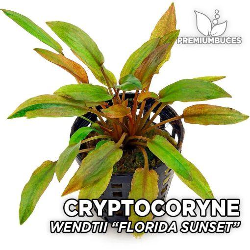 Cryptocoryne Wendtii Florida Sunset planta de acuario
