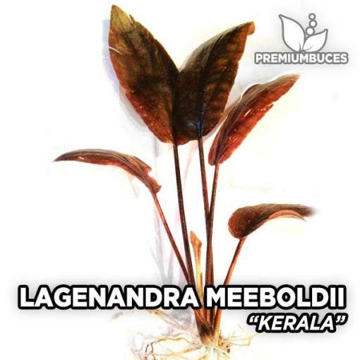 Lagenandra Meeboldii Kerala planta de acuario