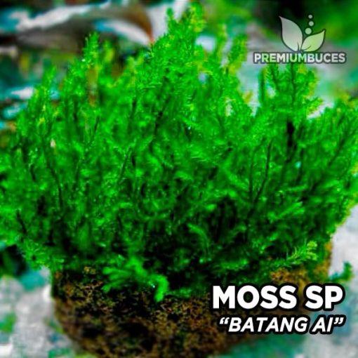 Batang Moss Ai musgo de acuario