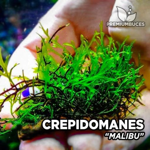 Crepidomanes Malibu