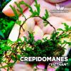 Crepidomanes Vietnam