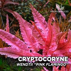 Cryptocoryne Pink Flamingo planta de acuario