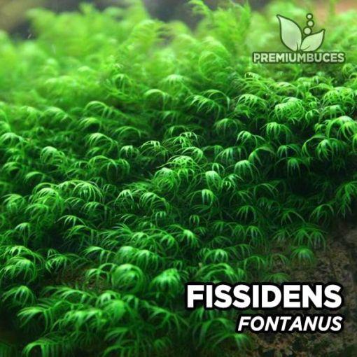 Fissidens Fontanus musgo de acuario