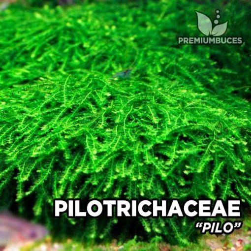 Pilotrichaceae Pilo Moss musgo de acuario