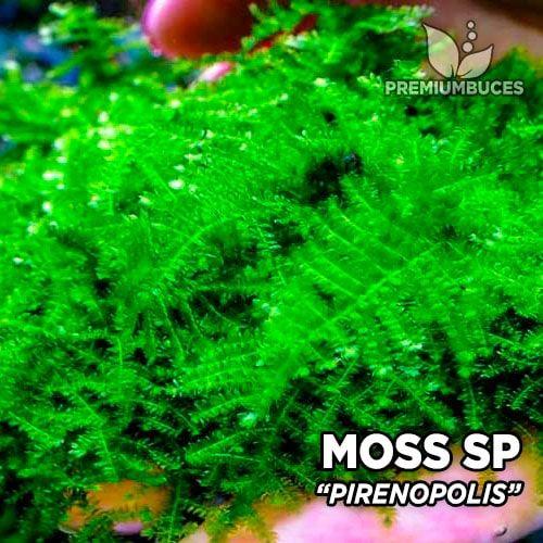 Pirenopolis Moss musgo de acuario