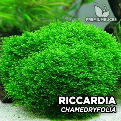 Riccardia Chamedryfolia musgo de acuario