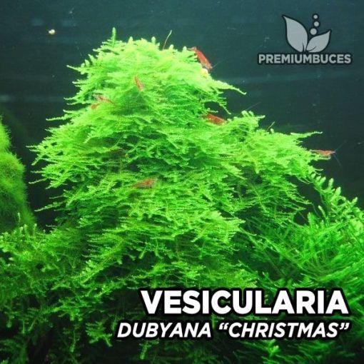 Vesicularia Dubyana Christmas Moss musgo de acuario