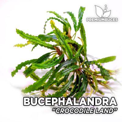 Bucephalandra Crocodile Land planta de acuario
