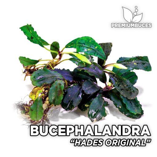 Bucephalandra Hades Original planta de acuario