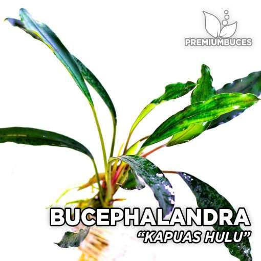 Bucephalandra Kapuas Hulu planta de acuario
