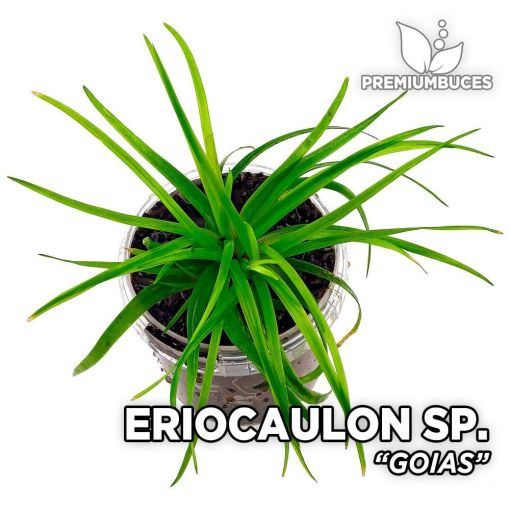 Eriocaulon Goias planta de acuario