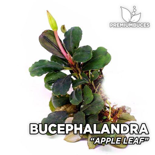 Bucephalandra Apple Leaf planta de acuario