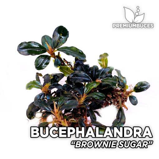 Bucephalandra Brownie Sugar planta de acuario