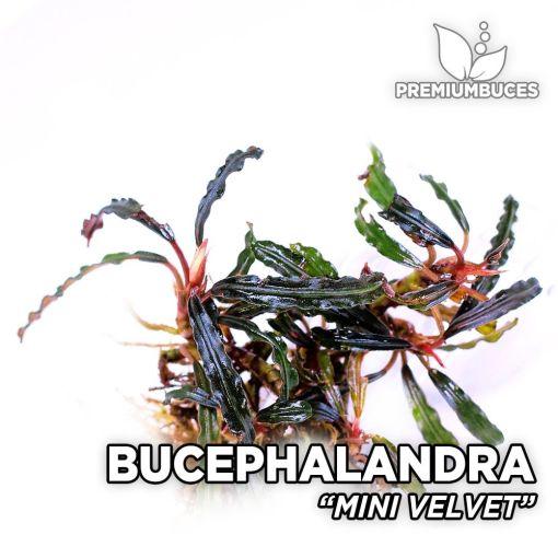 Bucephalandra Mini Velvet planta de acuario
