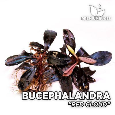 Bucephalandra Red Cloud planta de acuario