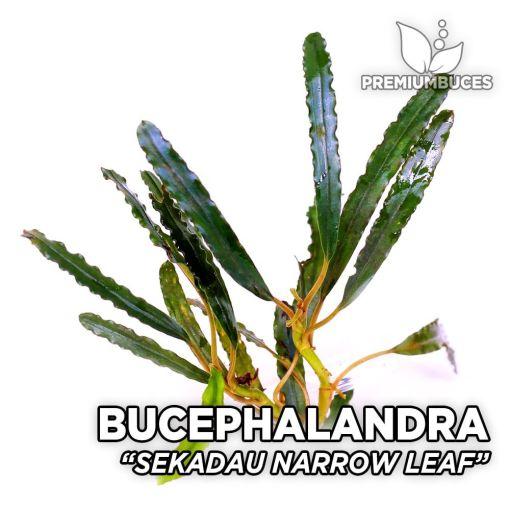 Bucephalandra Sekadau Narrow Leaf planta de acuario