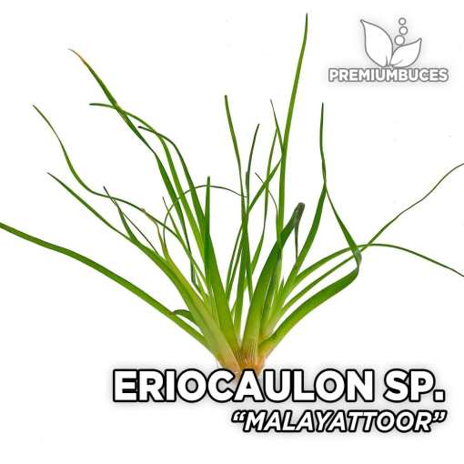 Eriocaulon Malayattoor planta de acuario