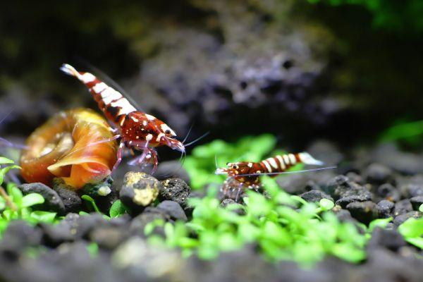 Caridina Logemanni gamba de acuario
