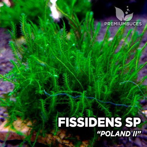 Fissidens Poland II musgo de acuario