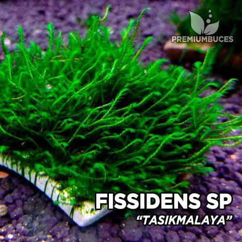 Fissidens Tasikmalaya