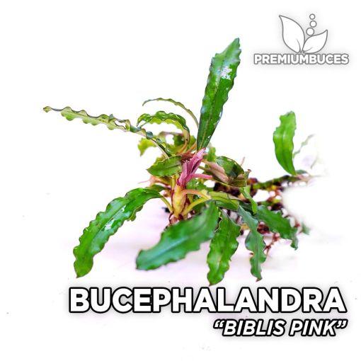 Bucephalandra Biblis Pink planta de acuario