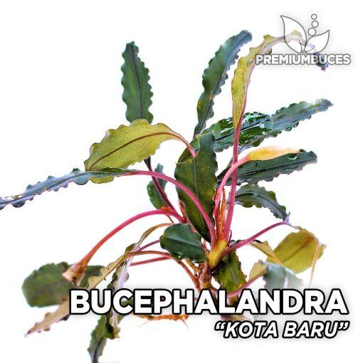 Bucephalandra Kota Baru planta de acuario