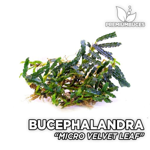 Bucephalandra Micro Velvet Leaf planta de acuario