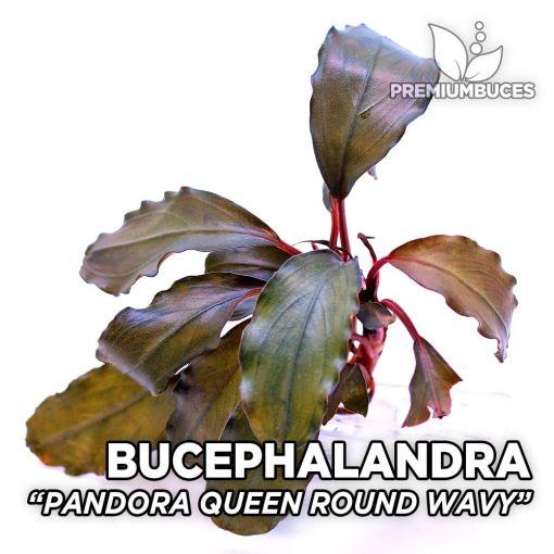 Bucephalandra Pandora Queen Round Wavy planta de acuario