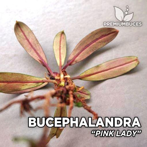 Bucephalandra Pink Lady planta de acuario