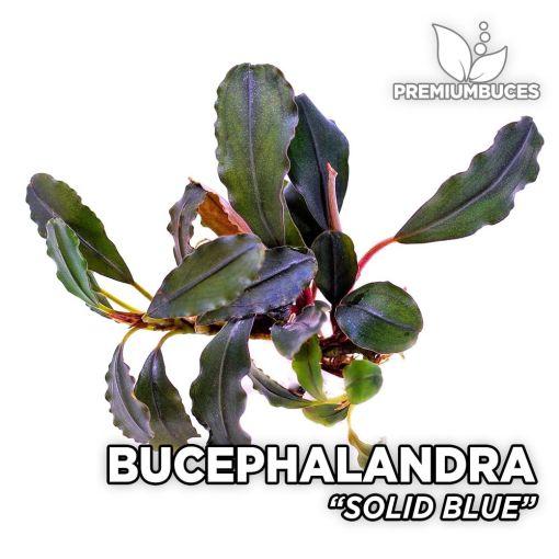 Bucephalandra Solid Blue planta de acuario