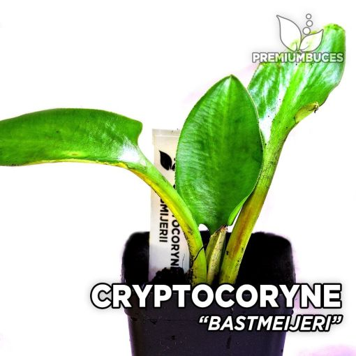 Cryptocoryne Bastmeijeri planta de acuario
