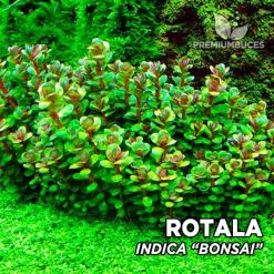"Rotala Indica ""Bonsai"" (Ammania sp. Bonsai) planta de acuario"