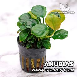 Anubias Nana Golden Coin planta de acuario
