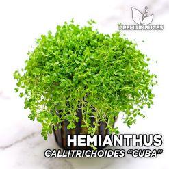 "Hemianthus Callitrichoides ""Cuba"" Planta de acuario"