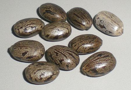 Premium Exports Oil Seeds Castor Seeds