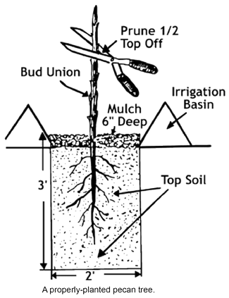 How to Plant a Bare Root Pecan Tree